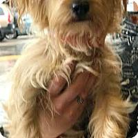 Adopt A Pet :: Jules-ADOPTION PENDING - Boulder, CO