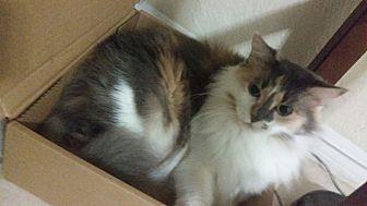 Calico Cat for adoption in Daytona Beach, Florida - Roxy