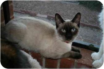 Siamese Cat for adoption in tucson, Arizona - Emy Cat 38810
