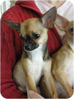 Chihuahua Mix Puppy for adoption in Astoria, New York - Roxi