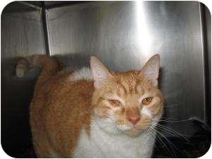 Domestic Shorthair Cat for adoption in Chambersburg, Pennsylvania - Gidget