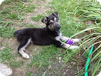 German Shepherd Dog Mix Puppy for adoption in Winnipeg, Manitoba - Layla