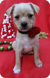 Chihuahua/Terrier (Unknown Type, Small) Mix Puppy for adoption in Irvine, California - Tessa