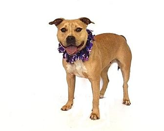 American Pit Bull Terrier Mix Dog for adoption in Orlando, Florida - Layla