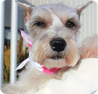Miniature Schnauzer Dog for adoption in Sharonville, Ohio - Penny-ADOPTED!!