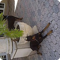 Adopt A Pet :: Thunder - miami beach, FL