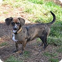 Adopt A Pet :: Chrissy - Athens, GA