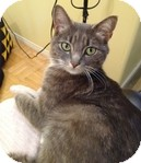 Domestic Shorthair Cat for adoption in Vancouver, British Columbia - Kim