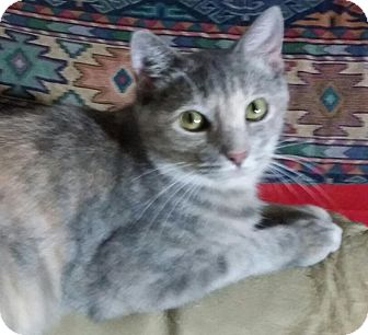Domestic Shorthair Cat for adoption in Arlington/Ft Worth, Texas - Wendy