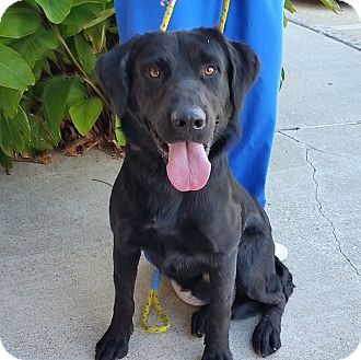 Labrador Retriever Mix Dog for adoption in Coppell, Texas - Turbo