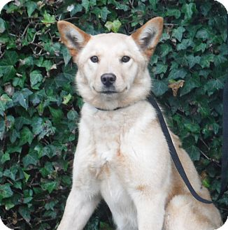 Australian Cattle Dog Mix Dog for adoption in Snoqualmie, Washington - Rosie ADOPTION PENDING