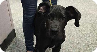 Great Dane Puppy for adoption in Albuquerque, New Mexico - Fergus