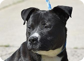American Pit Bull Terrier Mix Dog for adoption in New Haven, Connecticut - BRADY