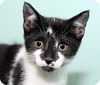 Domestic Shorthair Kitten for adoption in Royal Oak, Michigan - HARLEY