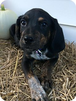 Bloodhound/Bluetick Coonhound Mix Puppy for adoption in Zanesville, Ohio - Blue Boy