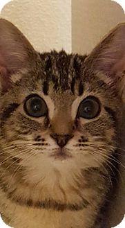 Domestic Shorthair Kitten for adoption in Rocklin, California - Acorn & Scarecrow