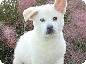 Labrador Retriever/Chow Chow Mix Dog for adoption in Olympia, Washington - Conrad