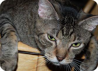 Domestic Shorthair Cat for adoption in Mesa, Arizona - Charlie