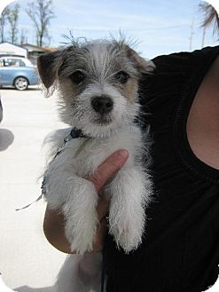 Maltese/Chihuahua Mix Puppy for adoption in Flora, Illinois - Linus