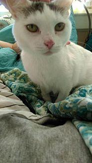 Domestic Shorthair Cat for adoption in Missouri City, Texas - Corliss