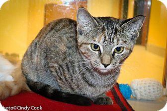 Domestic Shorthair Kitten for adoption in Ann Arbor, Michigan - Yahtzee