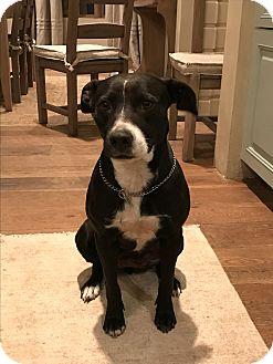 Labrador Retriever/Pointer Mix Dog for adoption in Houston, Texas - LuLu