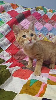 Domestic Shorthair Kitten for adoption in Hawk Point, Missouri - Cottontail