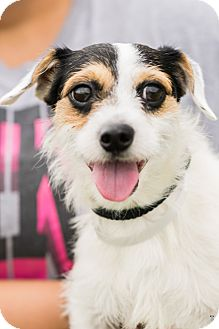 Fox Terrier (Wirehaired)/Terrier (Unknown Type, Small) Mix Dog for adoption in Burlington, Vermont - ROOMBA