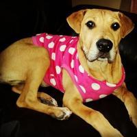 Labrador Retriever/Boxer Mix Dog for adoption in Elk Grove Village, Illinois - Emily