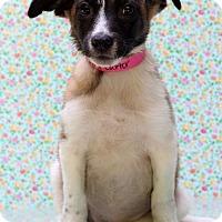 Adopt A Pet :: June Carter - Waldorf, MD