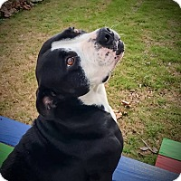 Staffordshire Bull Terrier/Bulldog Mix Dog for adoption in Darien, Connecticut - Honey