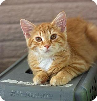 Domestic Shorthair Kitten for adoption in Troy, Michigan - Triscuit