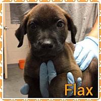 Adopt A Pet :: FLAX - Pomfret, CT