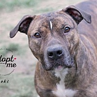 American Staffordshire Terrier/Pit Bull Terrier Mix Dog for adoption in Oglesby, Illinois - Loki