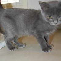 Adopt A Pet :: Faith's Kitten Aleesha - Brainardsville, NY