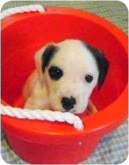 American Bulldog/Boxer Mix Puppy for adoption in Callahan, Florida - Joey