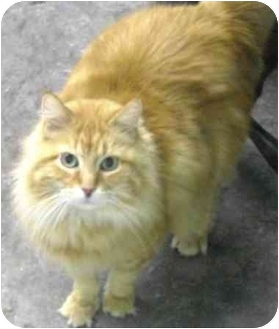 Domestic Mediumhair Cat for adoption in Alden, Iowa - Will