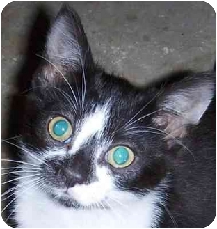 Domestic Shorthair Kitten for adoption in Muskogee, Oklahoma - Penny