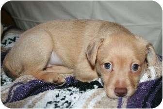 Wirehaired Fox Terrier/Dachshund Mix Puppy for adoption in La Habra Heights, California - Brewer