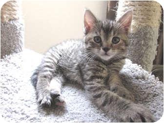 Domestic Shorthair Kitten for adoption in Hendersonville, Tennessee - Cassandra