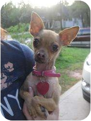 Chihuahua Dog for adoption in New Milford, Connecticut - Izzy