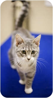 Domestic Shorthair Kitten for adoption in Chicago, Illinois - Bijou