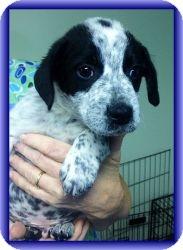 Beagle/Australian Cattle Dog Mix Puppy for adoption in Staunton, Virginia - Sunny Boy