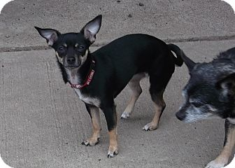Chihuahua Mix Dog for adoption in Ionia, Michigan - CeeCee