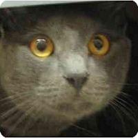 Adopt A Pet :: Brownie - Jenkintown, PA