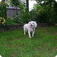Adopt A Pet :: Dolly - Blairstown, NJ