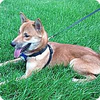 Adopt A Pet :: Yuuhi - Centennial, CO