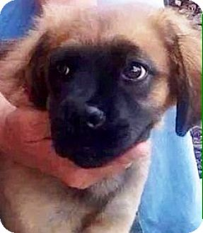 Leonberger/German Shepherd Dog Mix Puppy for adoption in Oswego, Illinois - I'M ADOPTED Kennedy Bollenbach