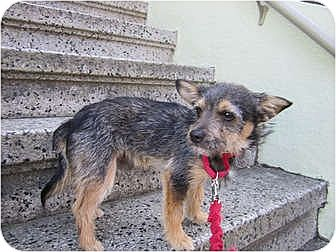 Cairn Terrier Mix Puppy for adoption in Sunnyvale, California - Dunstan