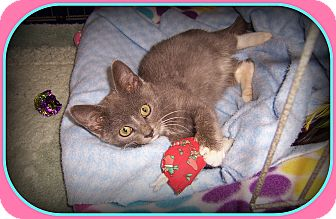 Domestic Shorthair Kitten for adoption in South Plainfield, New Jersey - KONA - What a Kutie!